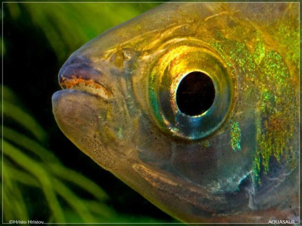 Brycinus longipinnis - Longfin Tetra - Close up