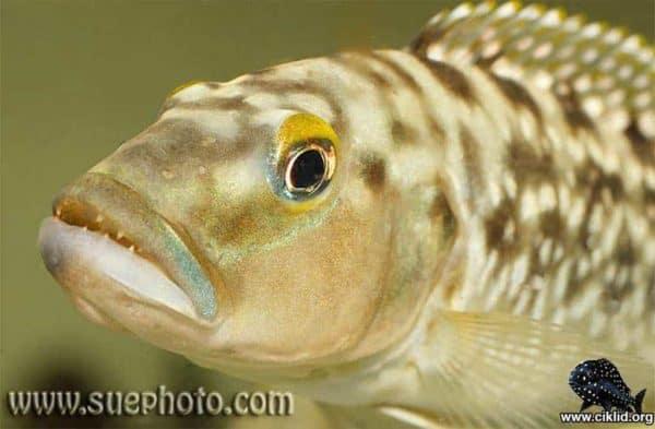Lepidiolamprologus elongatus - Close up