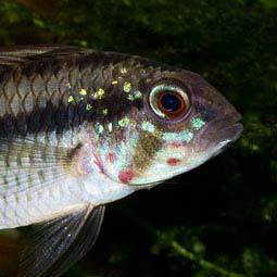 Apistogramma piaroa - Wildcaught male - Closeup