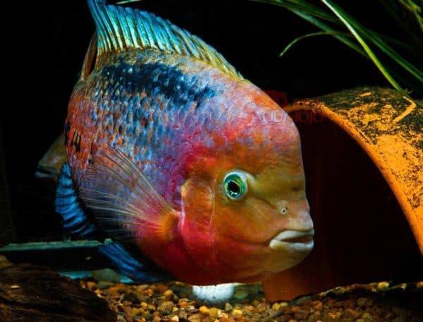 Paraneetroplus melanurus - Redhead Cichlid