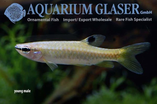 Pyrrhulina australis - Young male