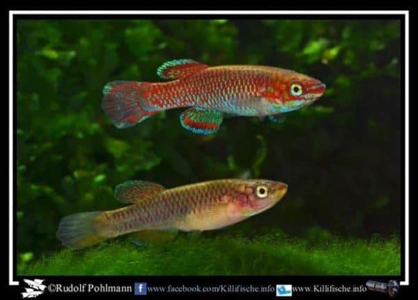 Aphyosemion joergenscheeli - GBG 93-20