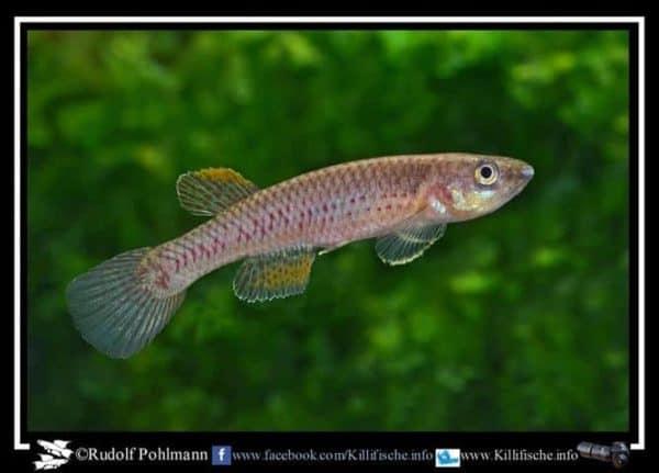 Aphyosemion maculatum - ABDEK 2012-494