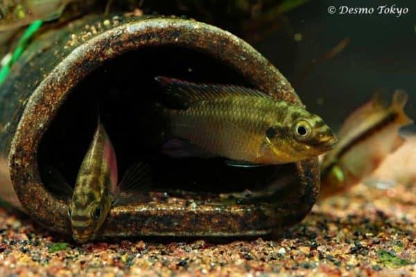 Pelvicachromis subocellatus - Ocellated Kribensis - Moanda