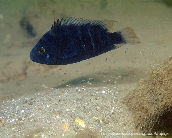 Amphilophus astorquii - Black Midas Cichlid 2