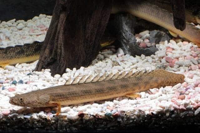Polypterus Ansorgii Guinee Bichir