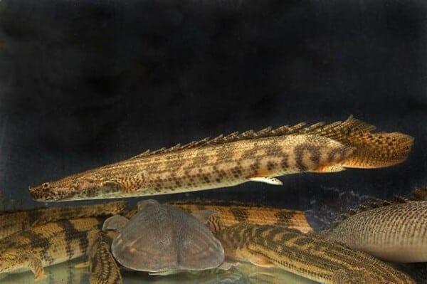 Polypterus bichir - Nile Bichir 2