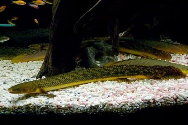 Polypterus teugelsi