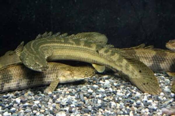 Polypterus bichir - Nile Bichir 3