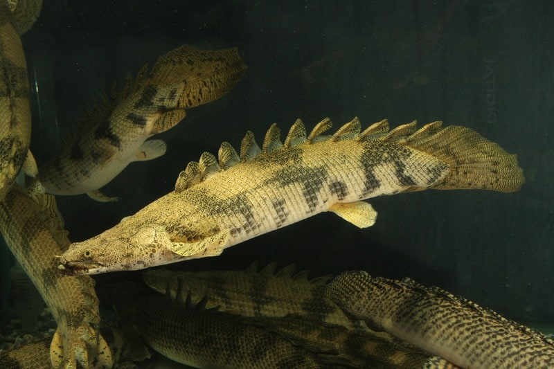 Polypterus Endlicheri