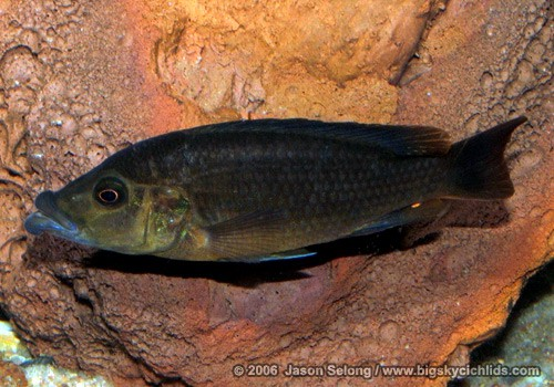 Abactochromis labrosus - Male