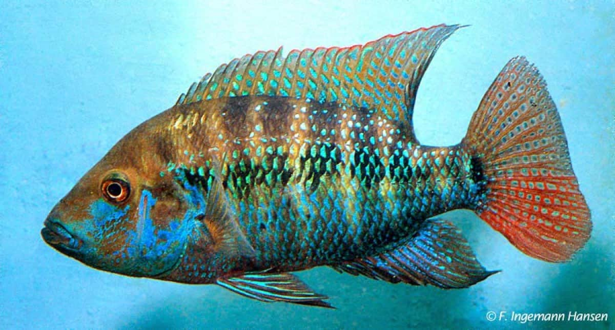 Cribroheros robertsoni - False Firemouth Cichlid