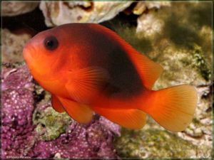 Amphiprion ephippium - Saddle Anemonefish