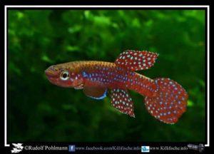 Aphyosemion cyanostictum - Makokou