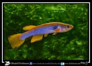 Aphyosemion ocellatum - Sika - GJS 00-05