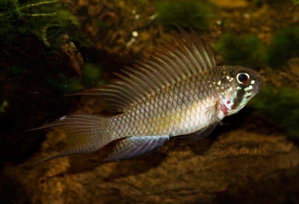 Apistogramma piaroa - Male flaring his fins