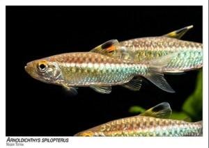 Arnoldichthys spilopterus - Niger Tetra