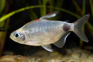 Bathyaethiops breuseghemi - Rectangle Spot Moon Tetra