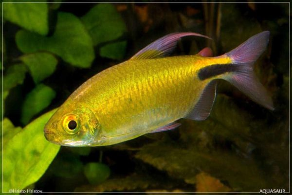 Brycinus longipinnis - Longfin Tetra