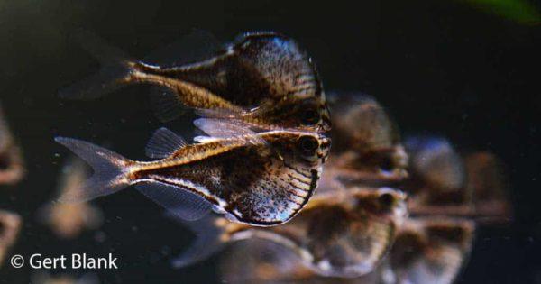 Carnegiella myersi - Pygmy Hatchetfish