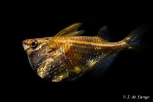 Carnegiella strigata - Marbled Hatchetfish