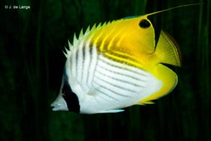 Chaetodon auriga - Threadfin Butterflyfish