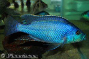 Cheilochromis euchilus