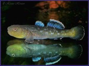 Chlamydogobius eremius - Desert Goby