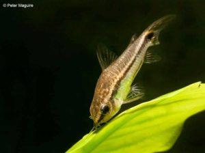 Corydoras pygmaeus - Pygmy Corydoras