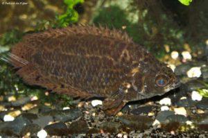 Ctenopoma acutirostre - Spotted Ctenopoma
