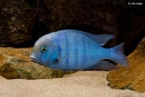 Cyrtocara moorii -  Blue Dolphin Cichlid