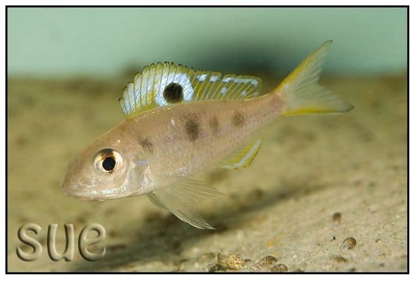 Ectodus descampsii - Chizanse Yellow