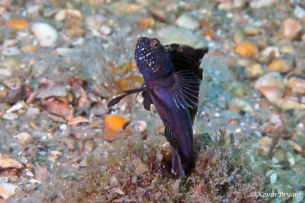 Chaenopsidae