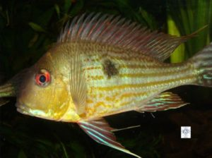 Geophagus surinamensis - Redstriped Eartheater - Male