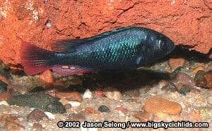 Haplochromis nubilus - Blue Victoria Mouthbrooder