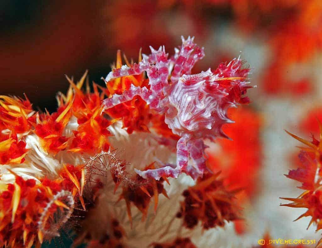 Hoplophrys oatesi