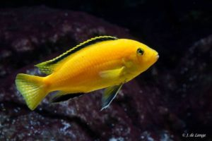 Labidochromis caeruleus - Male