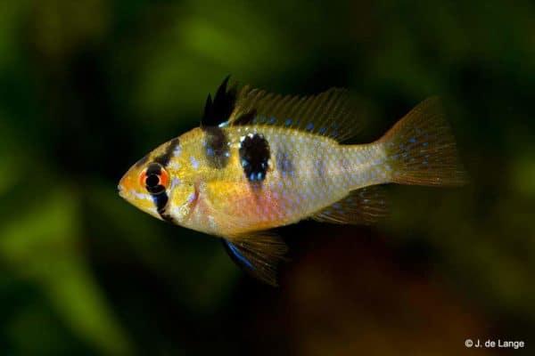 Mikrogeophagus-ramirezi-male