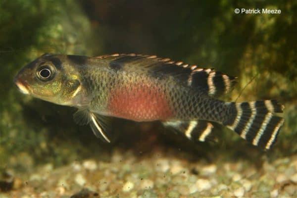 Nanochromis transvestitus - Female