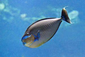 Naso vlamingii - Bignose Unicornfish