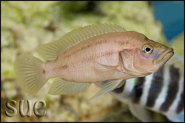 Neolamprologus prochilus - Male