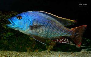 Nimbochromis