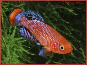 Nothobranchiidae