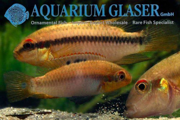 Pelvicachromis roloffi - Pair