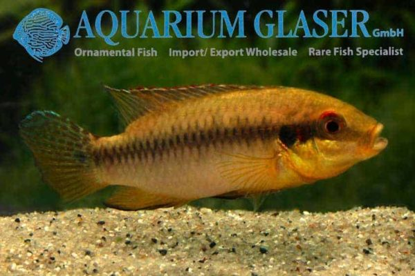 Pelvicachromis roloffi - Male