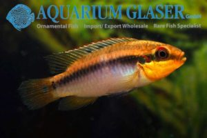 Pelvicachromis roloffi - Female
