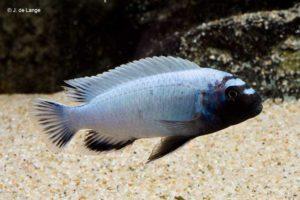 Pseudotropheus sp. polit