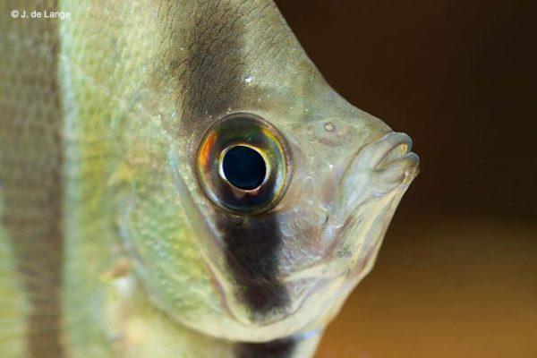Pterophyllum altum - Altum Angelfish - Close up