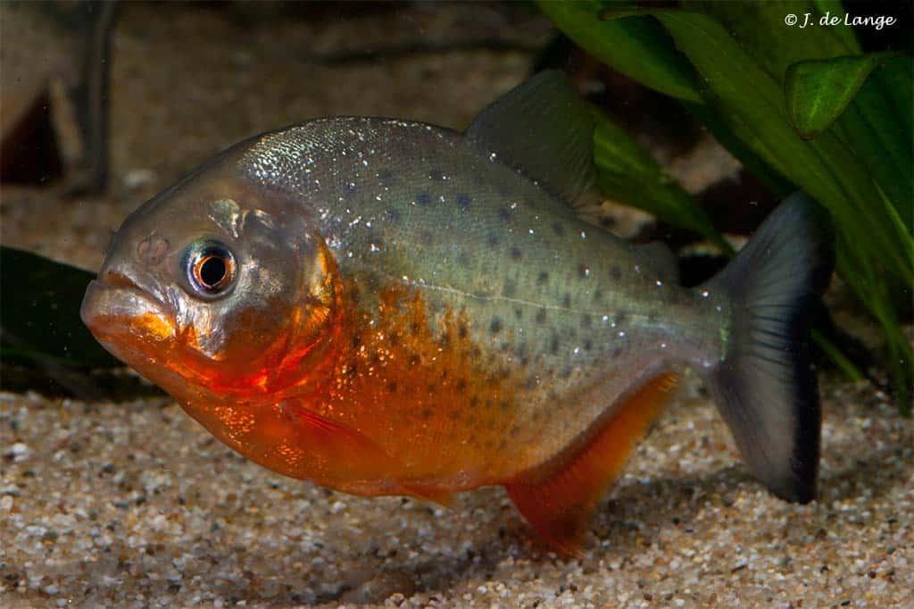 Serrasalmidae
