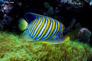 Pygoplites diacanthus - Regal Angelfish